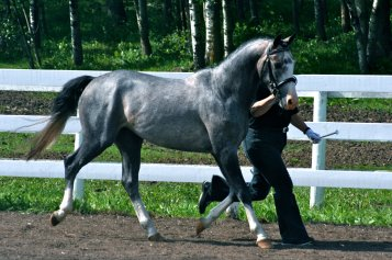 D'Armani at Weser-Ems Licensing as a 3 year old. Photo: Willow Mist Farm.