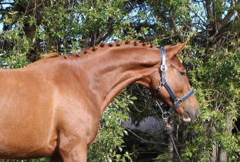 KNORDIQUE - 2015 KWPN FILLY - $12,000 CAD
